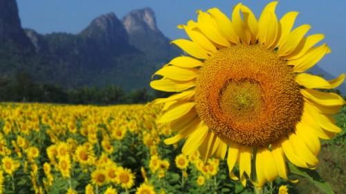 Vườn hoa mặt trời tuyệt đẹp của du lịch Thái Lan