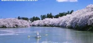 Điểm lý tưởng ở Nhật để ngắm hoa anh đào