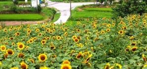 """""""Đốn tim"""" với ngôi làng hoa hướng dương tuyệt đẹp ở Hàn Quốc"""