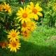 Đà Lạt có 1 mùa hoa – Mùa hoa ấy mang tên dã quỳ