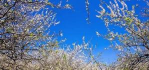 Đến Tây Bắc ngắm mùa hoa mận nở trắng cả một vùng trời