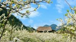 Mộc Châu vào tháng 1 mùa xuân tràn khắp mọi nẻo