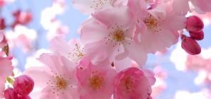 Mùa xuân, Nhật Bản có loài hoa anh đào
