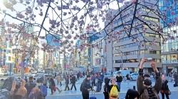 Đến Nhật Bản vừa ngắm tuyết vừa ngắm anh đào
