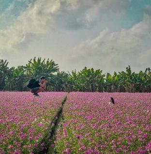 Đến An Giang tháng 4 này, ngắm cánh đồng hoa dừa cạn tuyệt đẹp
