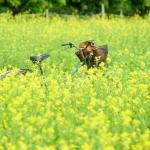Cúc họa mi tàn, Hà Nội vội thay áo mới với sắc vàng của hoa cải