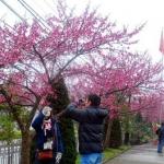 Sắc hoa đào làm ấm lòng người giữa mùa đông lạnh buốt ở Sapa