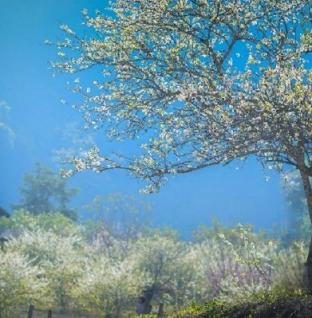 Hoa mận, hoa đào ở Mộc Châu đang vào dịp nở rộ
