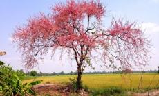 Tháng 3, du lịch An Giang ngắm hoa ô mai