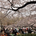 Những điểm đến ngắm hoa anh đào ở Tokyo Nhật Bản