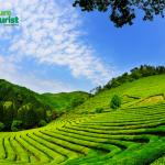 Tận hưởng không gian xanh ngát với đồi chè Boseong, Hàn Quốc