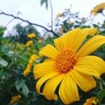 Ngắm hoa dã quỳ đã mắt ở những điểm đến này