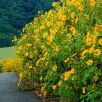 Mùa vàng Đà Lạt – Thời điểm ngắm hoa dã quỳ