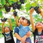 Mùa thu đến Ibaraki, Nhật Bản hái hoa quả đã đời