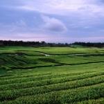 Đến thiên đường trà xanh Jeju ở Hàn Quốc để sống chậm và ăn sạch