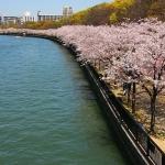 Những điểm ngắm hoa anh đào tuyệt đẹp ở Nhật Bản