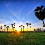 Ngỡ ngàng trước cánh đồng thốt nốt ở An Giang chạy dài tới chân trời