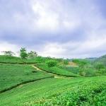 Đến Hoàng Su Phì ngắm cả xứ sở trà xanh