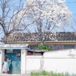 Ngắm đã mắt với những bông mộc lan khoe sắc ở xứ sở kim chi, Hàn Quốc