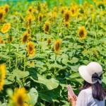 Đến Nhật Bản tháng 8 này, bạn sẽ ngỡ ngàng trước cánh đồng hoa mặt trời