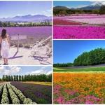 Ngây ngất trước cánh đồng hoa tại Nhật Bản