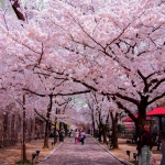 Lên lịch đi ngắm hoa anh đào khoe sắc tại Nhật Bản