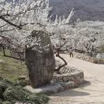 5 lễ hội hoa mùa xuân ở Hàn Quốc đẹp như mơ